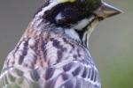 emberiza-chrysophrys_male_photo-stanislav-harvancik-006