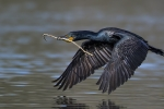 cormorant stick.jpg