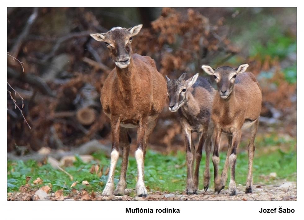Sabo-J-Muflónia-rodinka