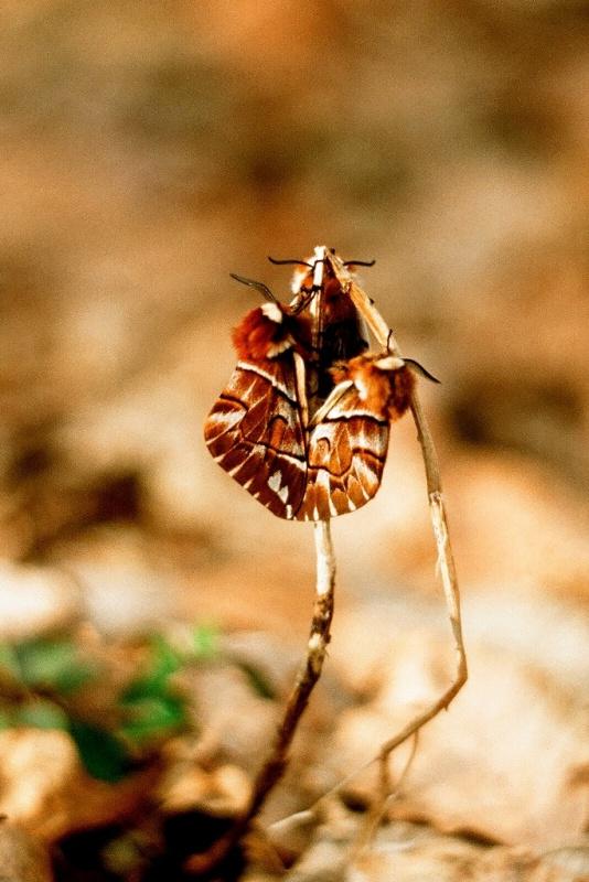 Strakac brezovy -Endromis versicolora