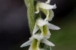 pokrut jesenny - vzacna orchydea