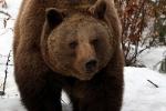 Medved hnedý