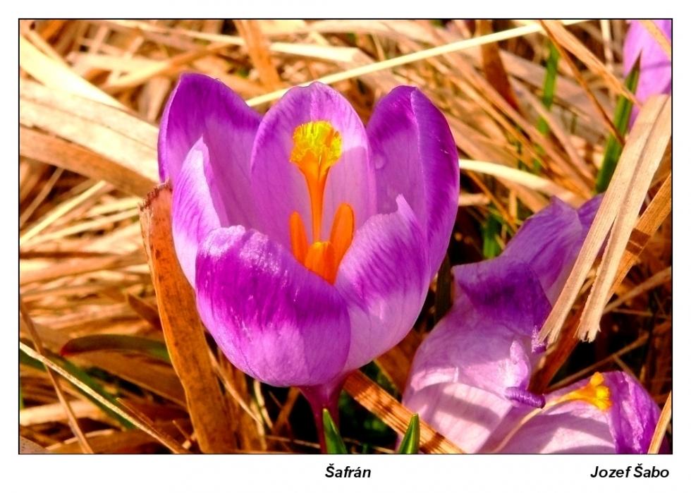 Sabo-Šafran