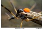 Pažitný-Pomarančový-jazdec