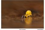 Pazitny-chvostoskok-Sminthurinus-aureus