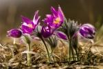 Ponilec veľkokvetý (Pulsatilla grandis)
